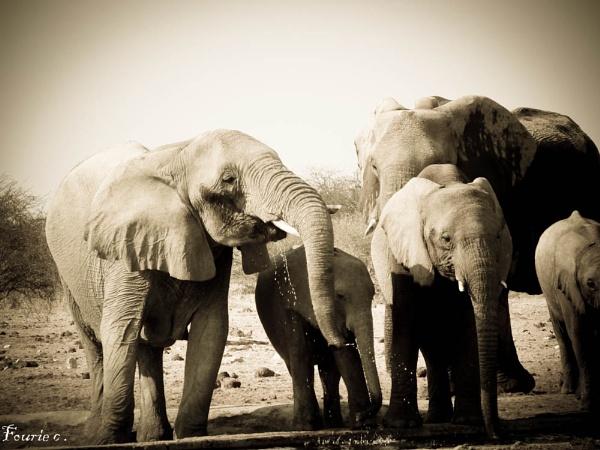 Elephants drinking water in Etosha National Park Namibia by Christell