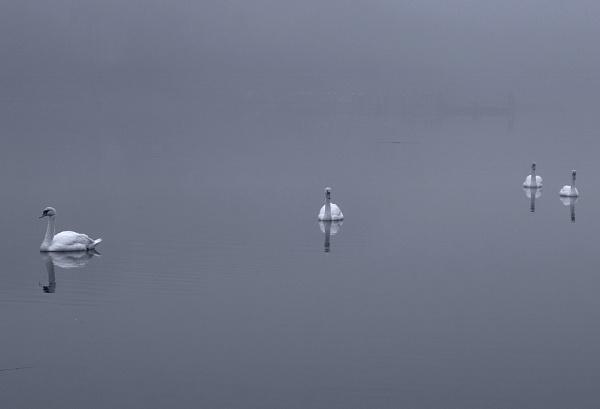 swans by slan57
