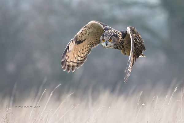 Eagle Owl by Droid