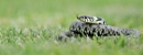 Grass Snake (c) by VinceJones