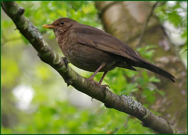 Blackbird (f) - Turdus merula. by Badgerfred