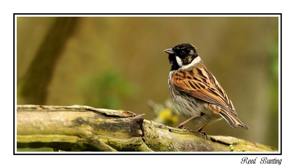 Reed Bunting Male by Mike_Smith