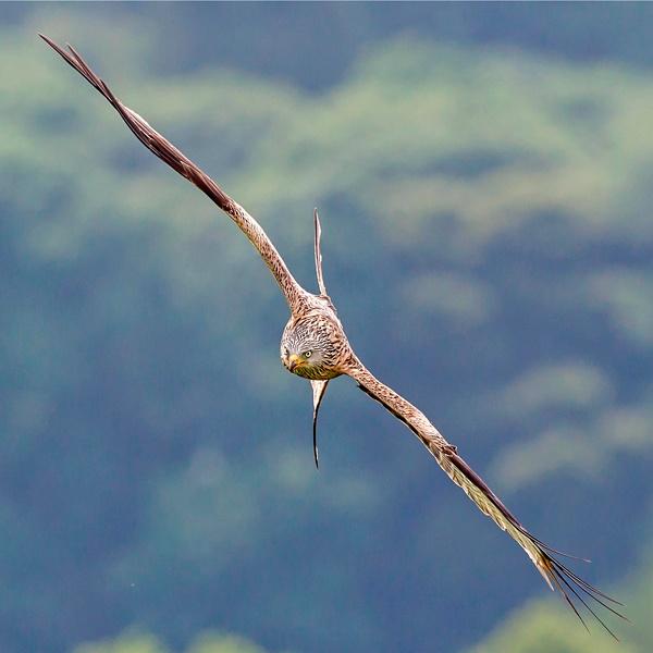 Red Kite 45 - 90 degrees by Grangeflyer