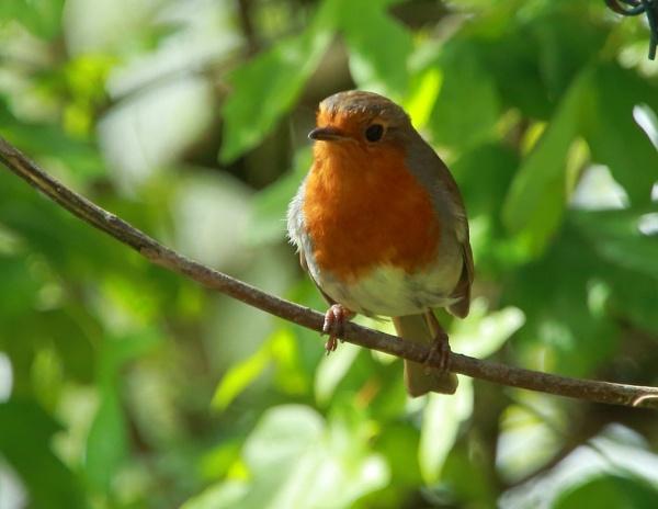 Robin by Tony_B