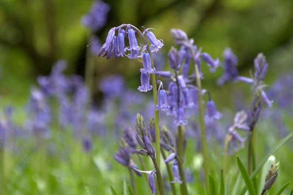 Westonbirt Bluebell by mark5610