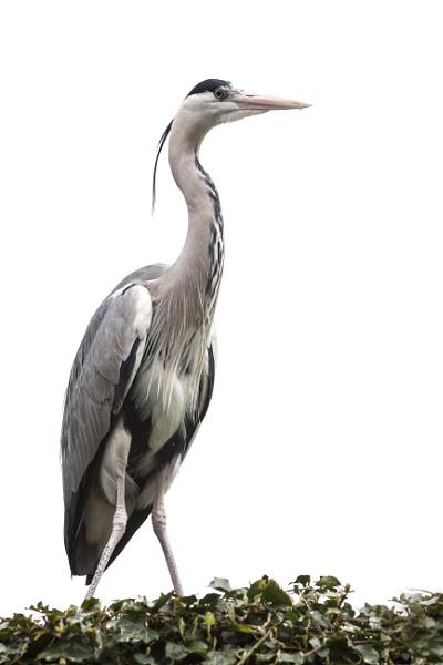 Grey Heron #2 by SteveMoulding