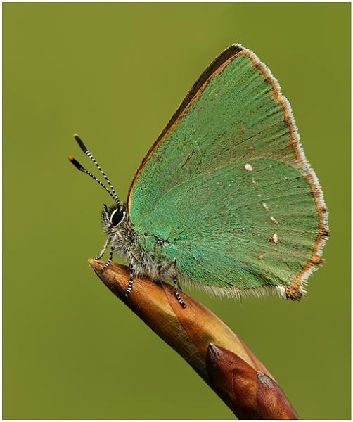 Green Hairstreak by NigelKiteley