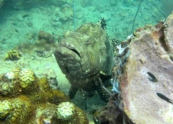 Grumpy Grouper