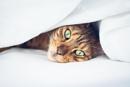 Yasha cat by Harding