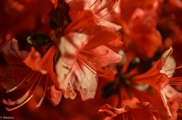 Macro Shot - Floral II by Swarnadip