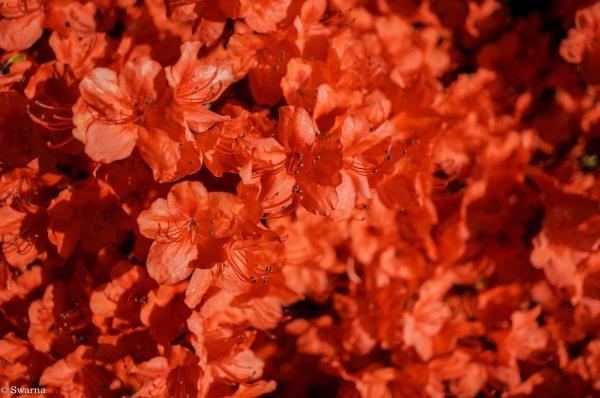 Macro Shot - Floral III by Swarnadip
