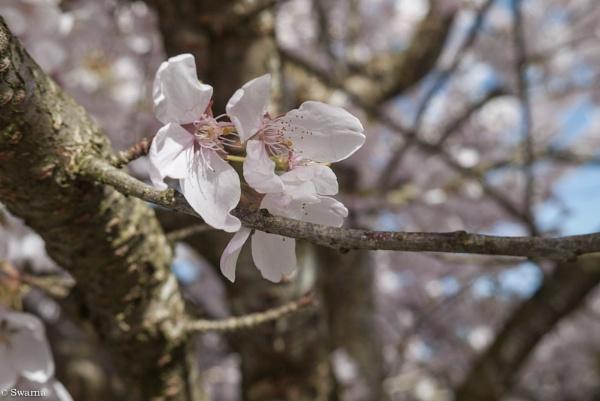 Cherry Blossoms VII by Swarnadip