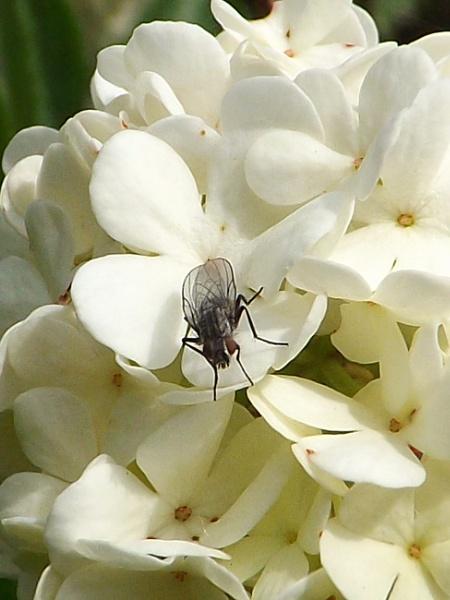 fly on hydrangea by ZoeKemp