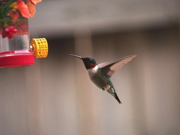 Ruby-throated Hummingbird by Xmplary