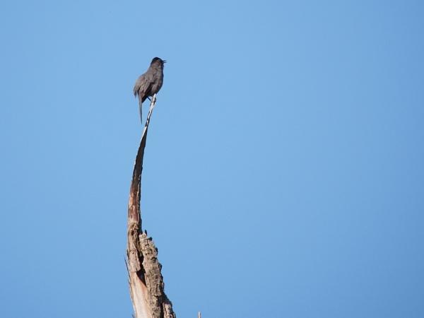 Gray Catbird by Xmplary