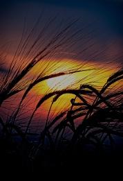 Barley Field Sillhouette