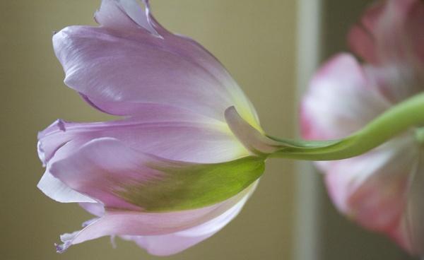Tulip by BrenLee