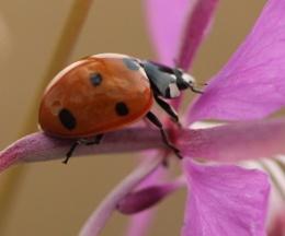 ladybird on flower stem