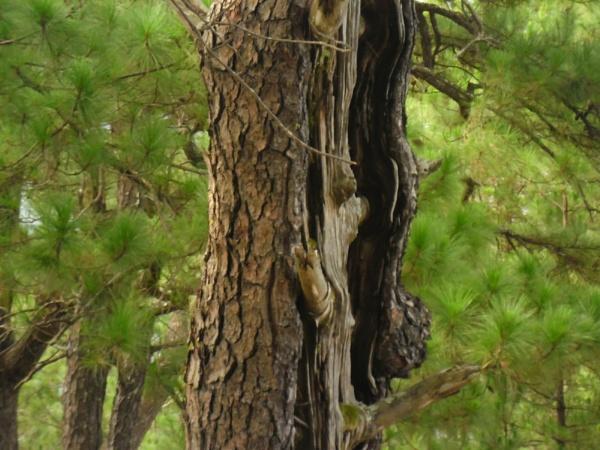 a PINE TREE bark ! :D by aerjeff