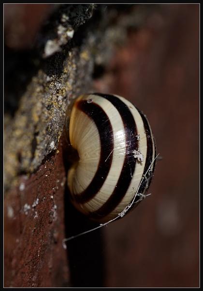 Zebra Snail by Morpyre