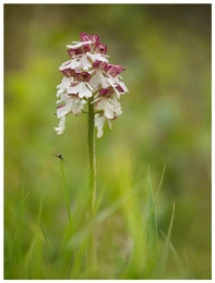 Lady Orchid...