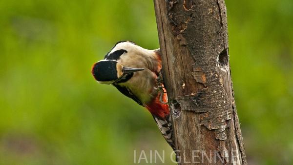 great spotted woodpecker by iainglennie