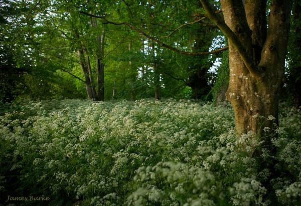 Cow parsley woods by jameswburke