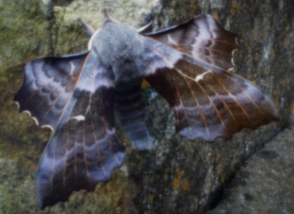 Poplar Hawk-moth by harvestman