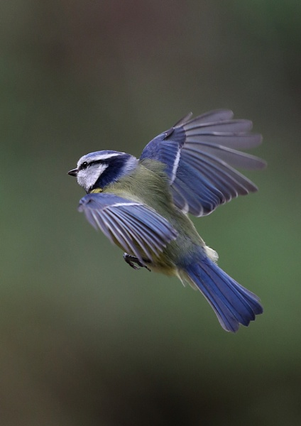 Blue Tits in flight by NeilSchofield