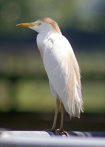 Egret by wsteffey