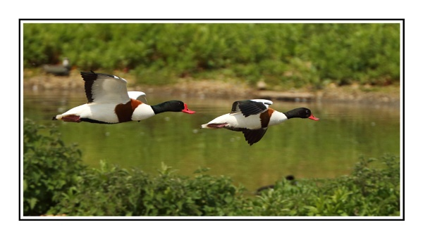 Shelducks by Mike_Smith
