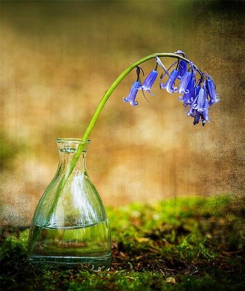 Captive Bluebell by ChrisWallace