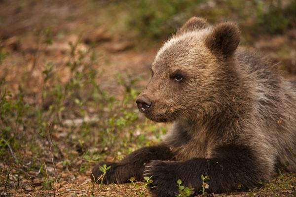 European Brown Bear cub. by rontear