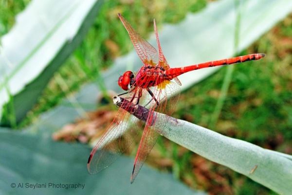 Red Dragonfly (Crocothemis erytrhaea) by jmu