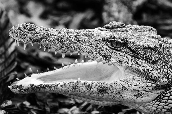 Nile Croc by icphoto