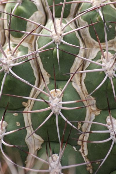 Gymnocalycium Saglionis - Giant Chin Cactus by RH