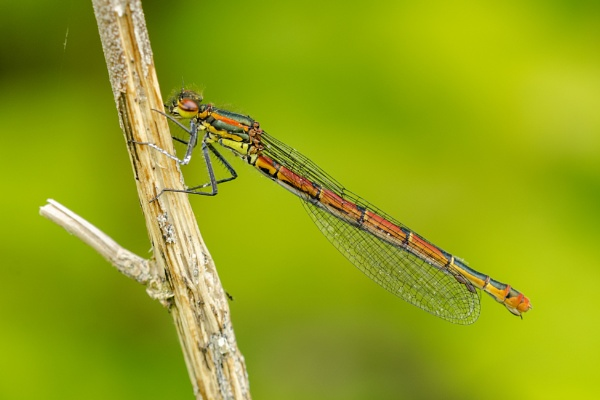 Large Red Damselfly by skidzy