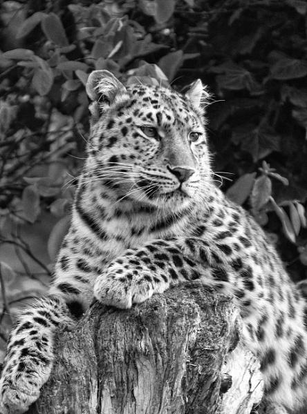 Posing Leopard by Shane136