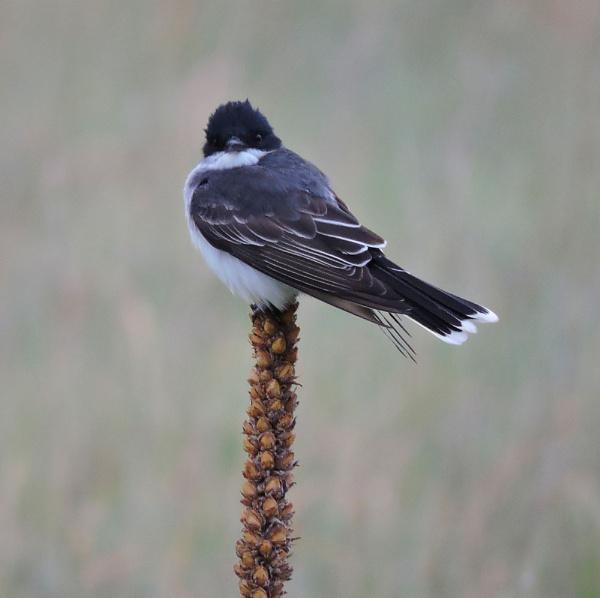Summer visitor - Western Kingbird by StuartDavie
