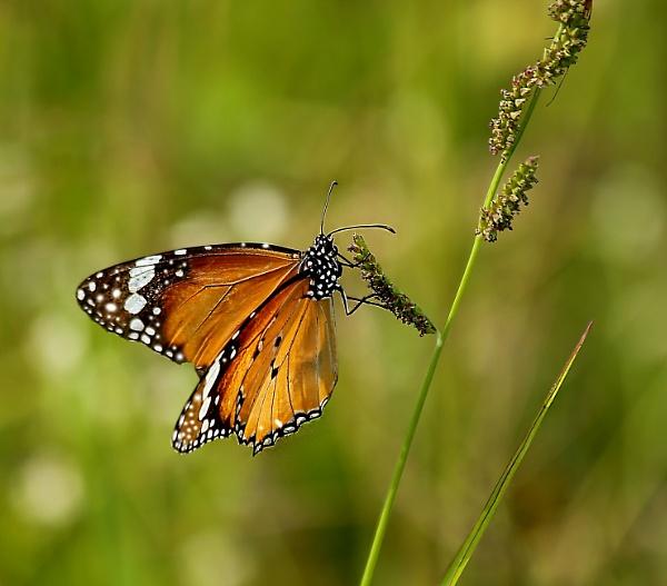 BF- Monarch by ukgubbi