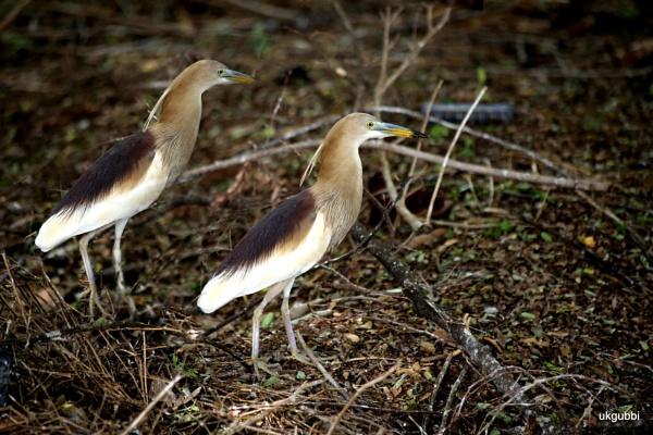 Bird Heron by ukgubbi