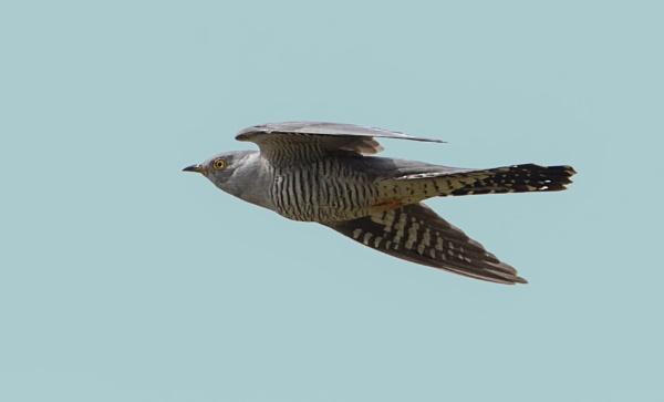 cuckoo in flight by GRAYCLEMENTS