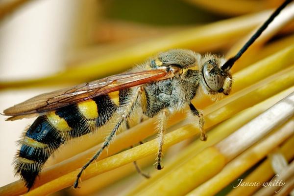 Wasp by janenewhitty