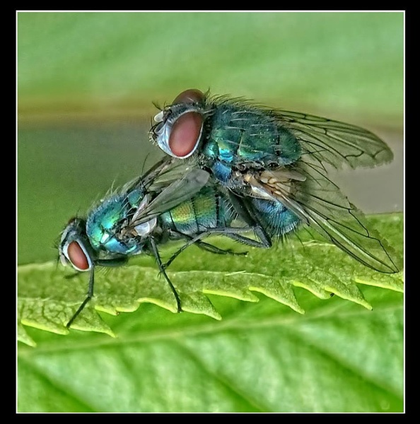 flies together by paulmanneringphotos