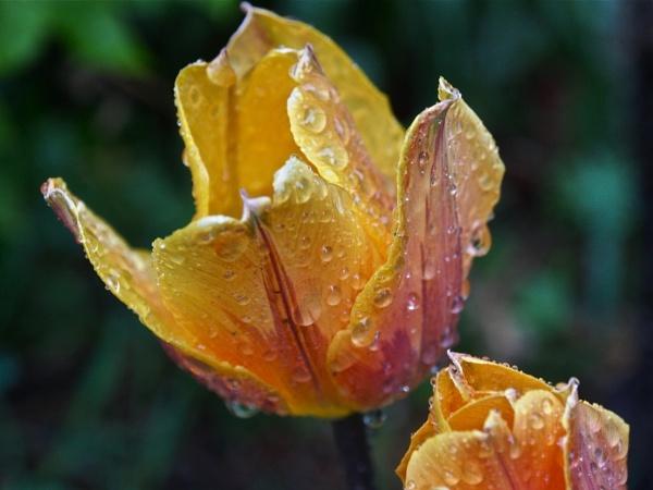 Tulips After Rain by handlerstudio