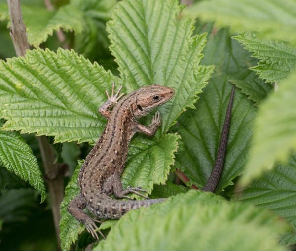 Common or Viviparous Lizard by ade123