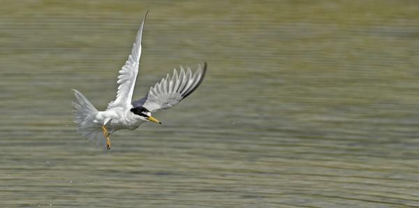 Little Tern by katholdbird