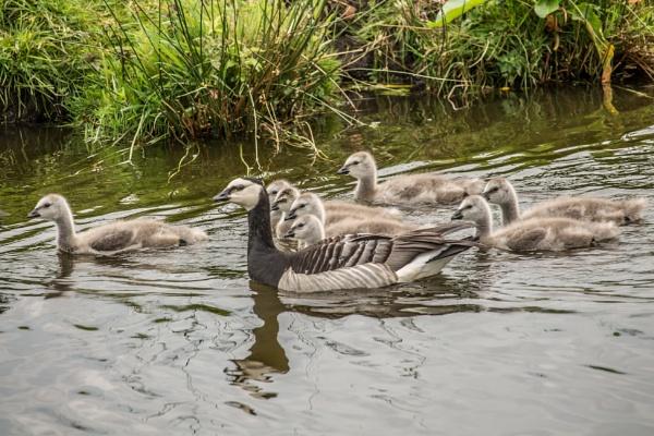 Justt Duckling around by kuipje