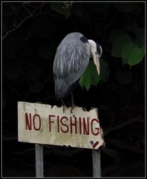 A heron fishing.....