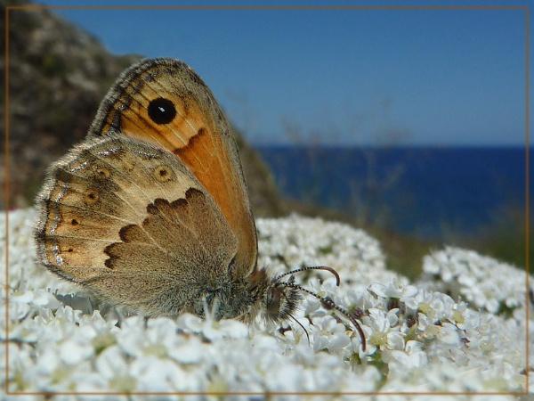 small Cretan heath by CarolG